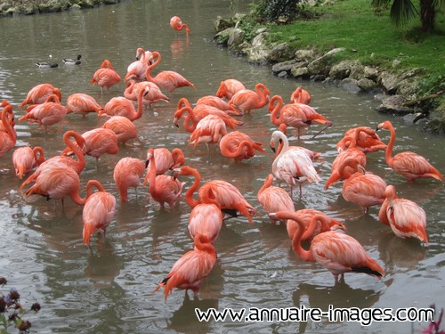 Flamants roses flamboyants