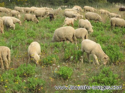 Photo ou image gratuite de moutons en troupeau - Photos de moutons gratuites ...