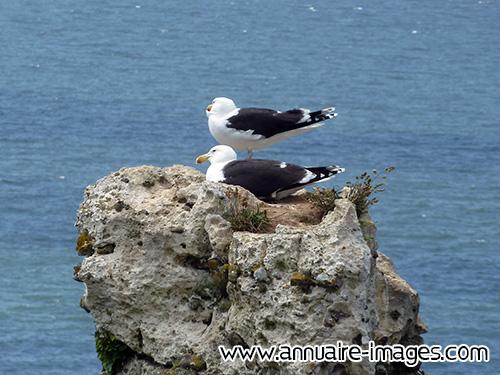 Photo goelands sur leur nid