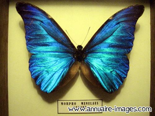 Cuisine Gris Bleu Turquoise : Photo ou image gratuite de papillon bleu morpho