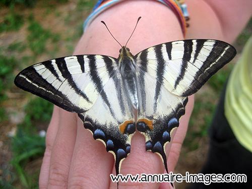 photo papillon noir et blanc aux ailes ouvertes. Black Bedroom Furniture Sets. Home Design Ideas