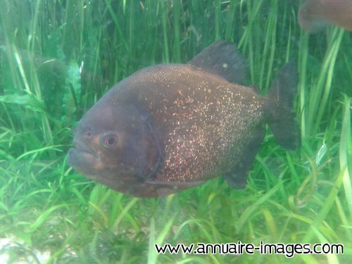 Poisson carnassier Piranha
