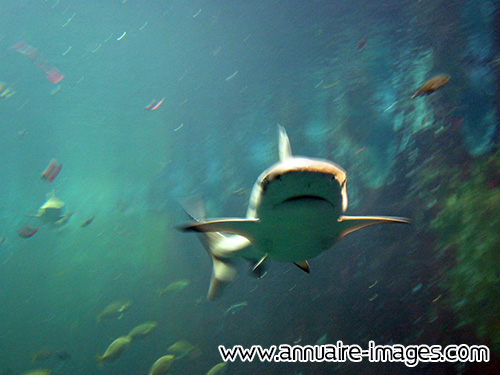 Requin de face