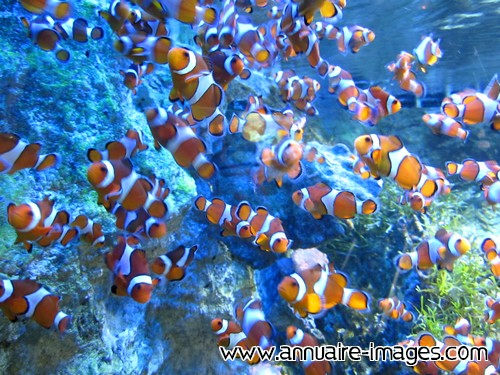 Poissons clowns