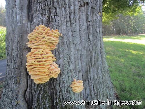 Photo champignons souchettes jaunes sur arbre - Champignon sur tronc d arbre ...