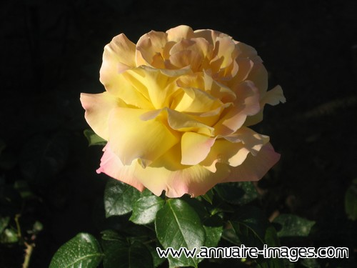 Rose jaune à liseret rose